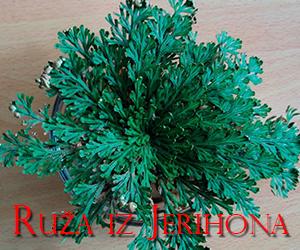 Ruza-iz-Jerihona