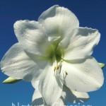 Amarylis White 104