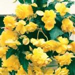 Yellow  029