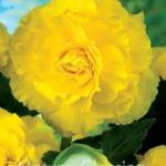 Yellow -005