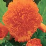 Orange  012
