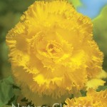 Yellow  013