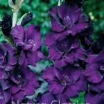 Purple Flora 732