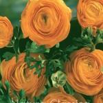 Orange 161