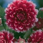 Red and White Fubuki 195