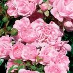Pink Fairy 29