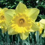 Yellow Sun 723