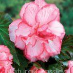 Rosebud 042